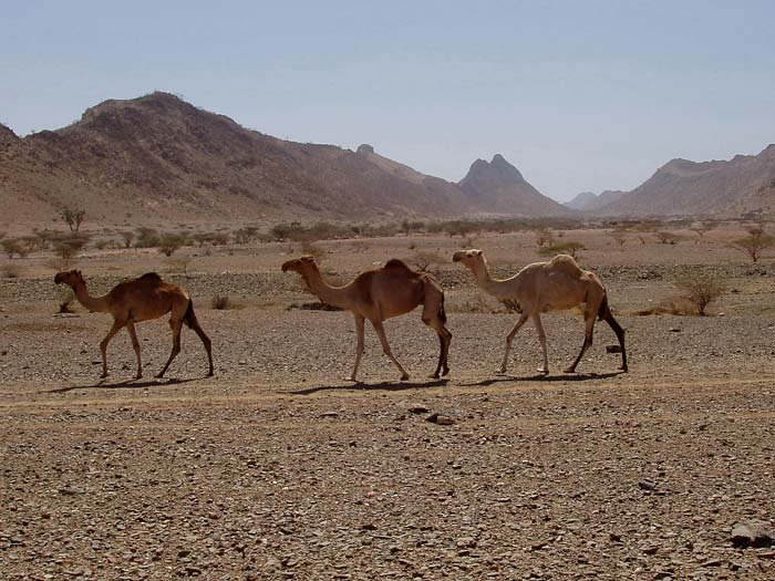 Camels and marble ridges in Eritrea